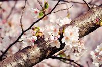 桜2018 - ゆっくり、ぱちぱちり
