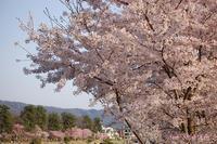 賀茂川の桜半木の紅枝垂桜も、もう満開2018年3月31日 - LLC徒然