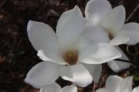林業試験場の花(1) 白モクレン (撮影日:2018/3/29) - toshiさんのお気楽ブログ