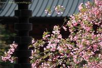 鎌倉の桜と花海棠妙本寺 - 暮らしを紡ぐ