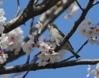 春爛漫、、 - ぶらり探鳥