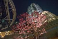 毛利庭園の桜 - 柳に雪折れなし!Ⅱ
