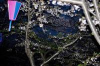 海老川の桜 - (鳥撮)ハタ坊:PENTAX k-3、k-5で撮った写真を載せていきますので、ヨロシクですm(_ _)m