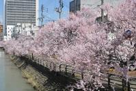 桜の季節 - ニコニコヤへようこそ