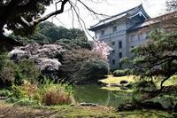 国立博物館内庭の桜 - お散歩写真     O-edo line