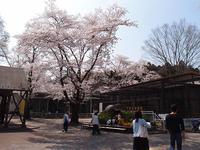 2018.4.1 宇都宮動物園『桜の頃』 - 青空に浮かぶ月を眺めながら
