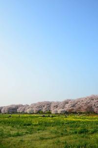 埼玉県幸手市「権現堂の桜堤」 - そよ風のおもむくままに