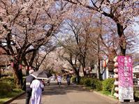 小金井公園と五日市街道の桜 - 黄色い電車に乗せて…