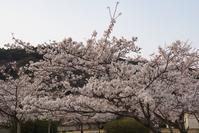 3/29 桜が満開 (4/1記) - ゆるるばってん沈まんばい的生活 in 対馬