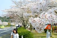 石山寺の桜満開。 - 気楽おっさんの蓼科偶感