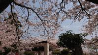 お花見3回目 - 優駿、大樹の下で和を奏でる~平屋暮らし*時々handmade~