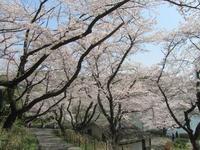 鶴見区の桜を堪能する旅 ~その2~ - 神奈川徒歩々旅