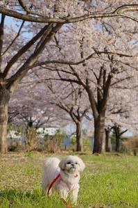 桜散歩5 - ポロと歩く