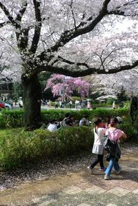国立の桜 - M8とR-D1写真日記