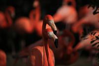 フラミンゴの情熱的な求愛を見たい - 動物園のど!