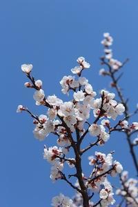 桜前線北上中⁉②(2018.3.31) - 風の中で~