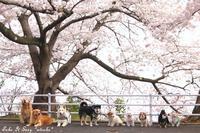 * 桜集合写真2018 * - 黒柴 *Kotarou*  わん!ダフル♪