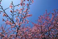 河津桜:大東春殖地区 - じじ & ばば の Photo blog