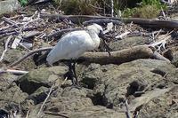 ★春らしく、落ち着いた週末でした・・・先週末の鳥類園(2018.3.31~4.1) - 葛西臨海公園・鳥類園Ⅱ
