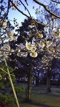仕事帰りの花見 - ウンノ整体と静岡の夜