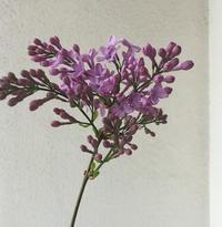 ヒメライラック - kukka kukka