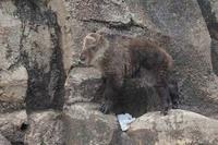 岩棚を登るターキンっ仔「ナズナ」 - 続々・動物園ありマス。