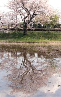 飯給駅の桜花 - またいつか旅に出る