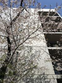 ANDO建築と目黒川の桜 - K+Y アトリエ一級建築士事務Blog