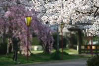 今朝の桜⑤ - グル的日乗