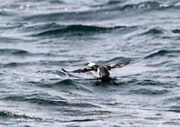 ウミバトは、名前のとおりキジバトほどの大きさ - THE LIFE OF BIRDS ー 野鳥つれづれ記