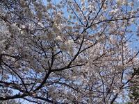 桜の見納めとポワンエリーニュのランチ - ひなたぼっこ