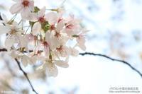 桜と美人姉妹-しつこいよ(笑)- - パピヨン小雪の徒然日記