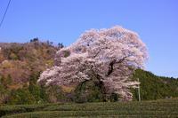 みずめの桜 - 暮らしの中で