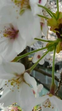 今年の桜♪ - 猫と私の好きなもの