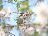 クルクルニュウナイスズメ - 『彩の国ピンボケ野鳥写真館』