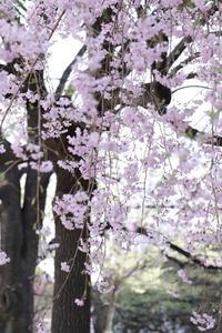 桜日和 - わんまいる*さんぽみち