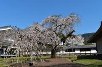 醍醐寺の花見 - 旅にでようか、本をよもうか