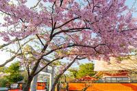 桜咲く京都2018車折神社の早咲き桜たち - 花景色-K.W.C. PhotoBlog