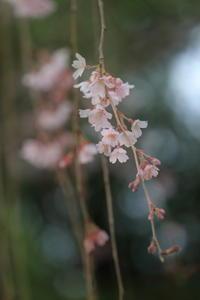 桜そよぐ季節 - kzking1963 Digital Photo Diary