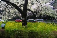 国立の桜(2) - M8とR-D1写真日記