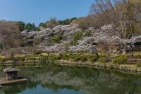 薬師池公園のシラネアオイ - あだっちゃんの花鳥風月
