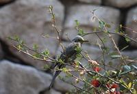 今日の鳥さん180326 - 万願寺通信