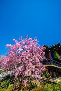 最後かな桜 - 12か月・写真は楽しいですョ!