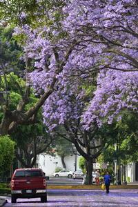 ハカランダの花とメキシコの春 - 二勝三敗