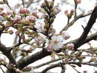 大朝でも桜開花宣言。 - 大朝=水のふる里から