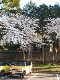 上総国一之宮 玉前神社 桜満開の初参拝(3/25) - わが愛しのXXX。
