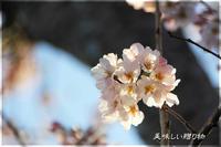 近所の桜と苺ゼリー - 美味しい贈り物