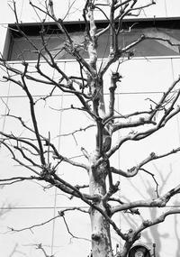中判で撮った裸のプラタナス - 照片画廊