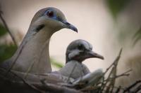 鳩の親子 - 南加フォト
