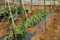 きぬさや/スナップエンドウ/グリーンピース栽培 - bandana082の体験農園